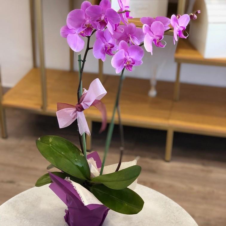 Hermosas Orquideas Phalenopsis
